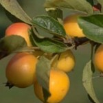 Crab Apples (Malus)
