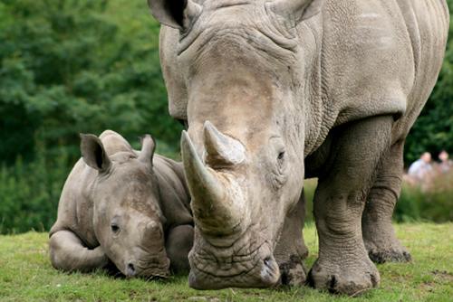 Rhino Mothers