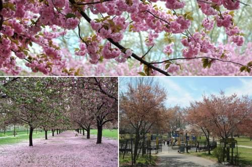 Medium Of Okame Cherry Tree