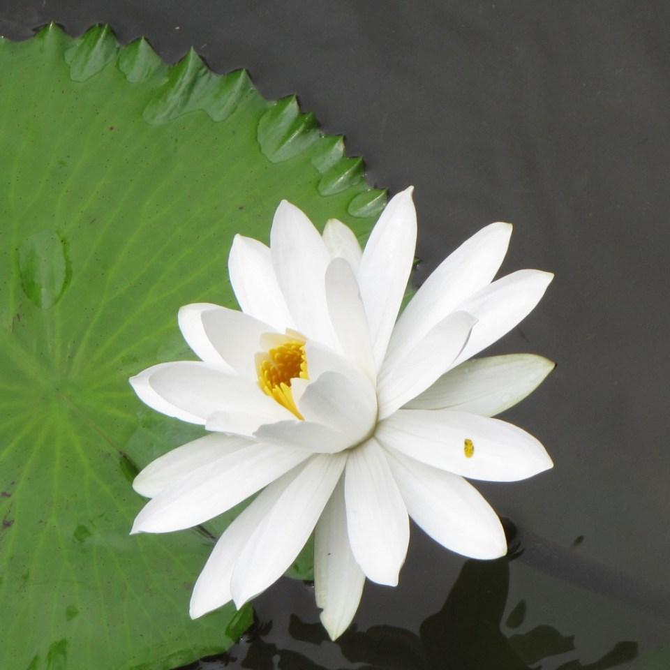 White lotus close-up
