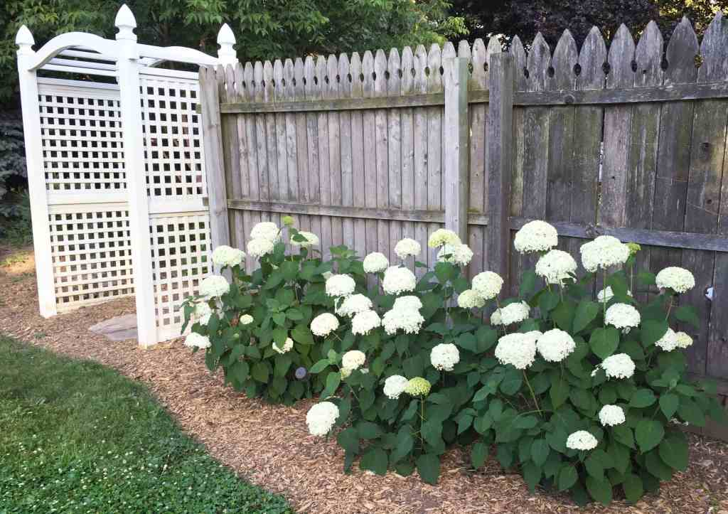 Hydrangeas by Fence Backyard Garden
