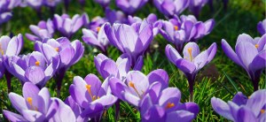 feature post image for Come Coltivare i Bulbi di Crocus