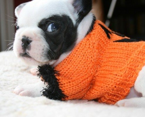Pumpkin - Pied French Bulldog Puppy