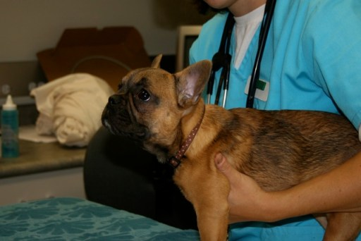 Rescue French Bulldog with pulmonary stenosis and atrial valve defect