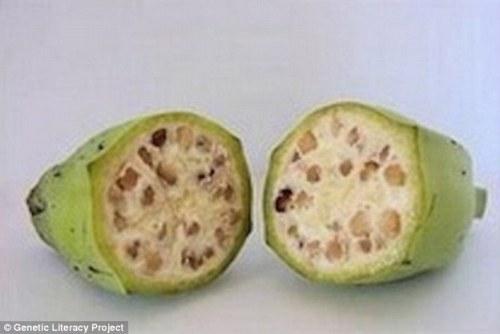 gmo-banana-before