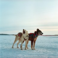 Sled Dogs are seen before a race during the Winter Carnival in Fort Chipewyan. Fort Chipewyan is the oldest native settlement in Canada and is situated downstream from the Oil Sands on the Athabasca Delta. Along with Fort McKay it is a member of the Athabasca Tribal Council.