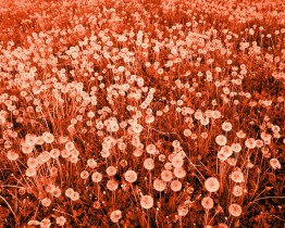 (Her beautiful field of flowers).