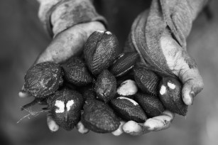 Even though black shells are a culinary delicacy in Ecuador, shell pickers are only paid 8 cents of a dollar per shell. On average, pickers will find between 50 and 100 shells in a day´s work.