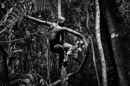 A baka pygmie man comes down a branch after having climbed a tree to retrieve honey from a beehive. Village of Ndjibot, Dja Faunal Reserve.