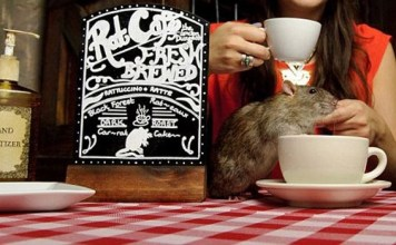 """""""Ratuccinos"""" set to be Canada and Vancouver's first rat cafe
