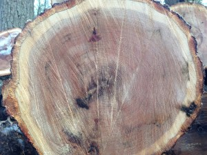 """Hard to imagine, but this tree is over a hundred years old. Each """"ring"""" of growth is one year of growth. From a seedling that started around 1913 or so, this tree did really well in the forest that Edward D. Vock built."""