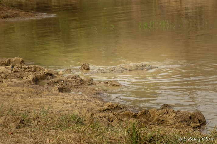 Crocodile at Mole National Park, Ghana