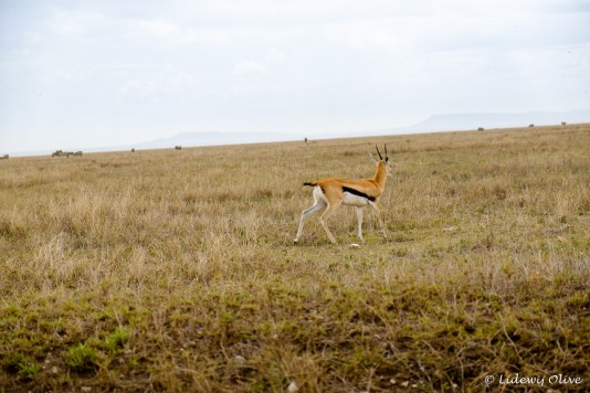 Antilope in Serengeti NP