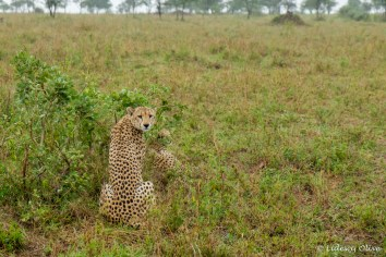 Cheetah at Serengeti NP