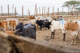 Masaai market: FBI cow