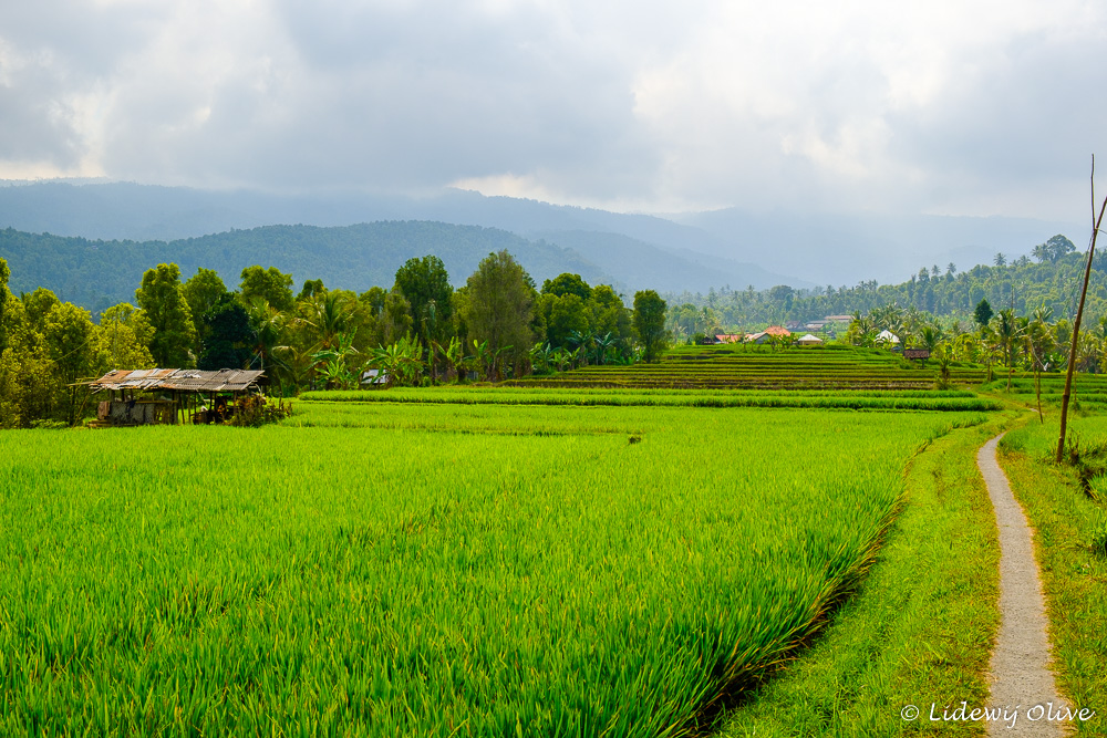 The path through the ricefields