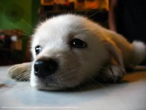 Como tirar pulga do cão?