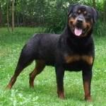Foto 4 texto Rottweiler