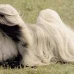 Lhasa Apso   Características da raça, fotos e vídeos