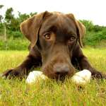 Labrador_Fotos_8