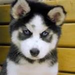Husky Siberiano 5