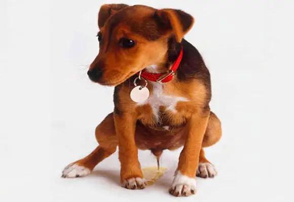 Por que o cão só faz xixi em casa?