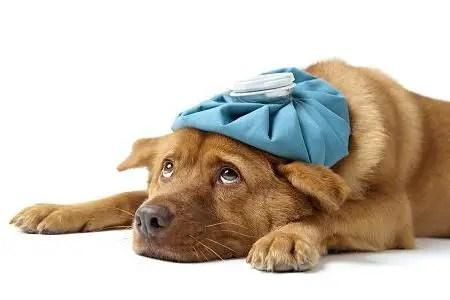 Como identificar se o seu cão está com febre