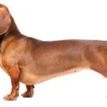 raca-dachshund