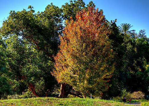 Huge trees at the LA County Arboretum (see people in lower right) start to turn colorful (10/29/14) Frank McDonough