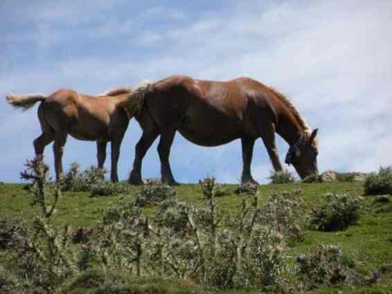Pyrenees 26 horses
