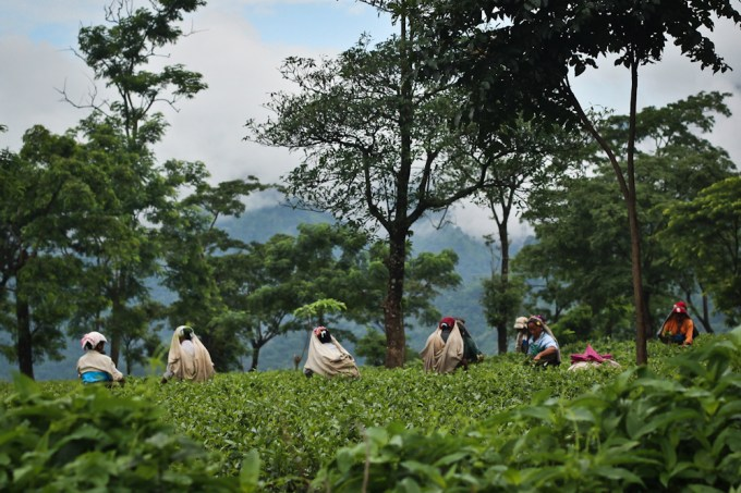 Tea pickers in Darjeeling