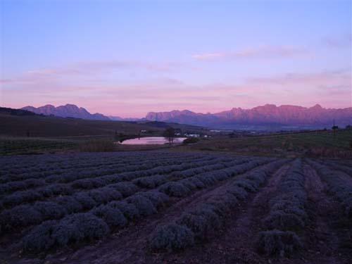 canettevallei lavender