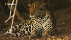 Felino de la Sierra de La Macarena