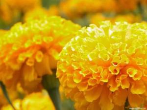 yellow-marigolds-238901