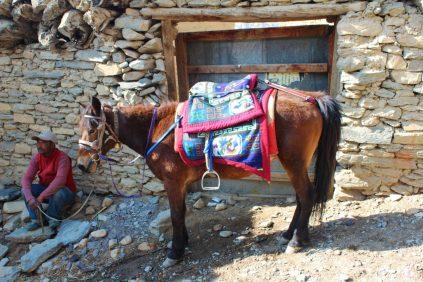Himalayan mule seen at Mustang