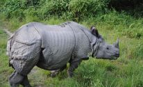 One Horned Rhino