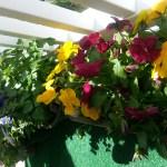 More pansies and herbs