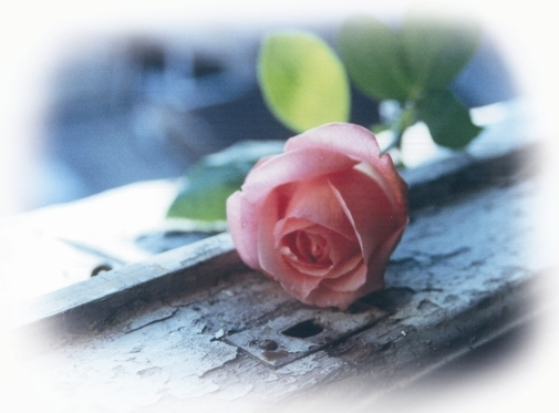 Old rosy rose - foto di Carla Glori 1994