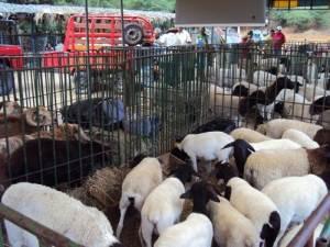 feira de caprinos pinhões juazeiro
