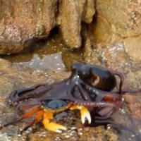 Tintenfisch-Angriff auf Krabbe