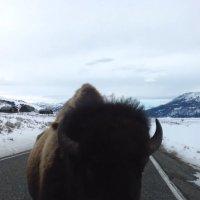 Kurzsichtiger Büffel baut Unfall