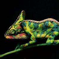 Ein seltenes Chameleon von Johannes Stötter