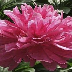 Casart Peony In Pink Bloom Series - Ann Alger 3