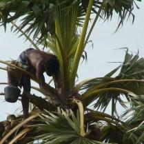 Palm_tree_climber