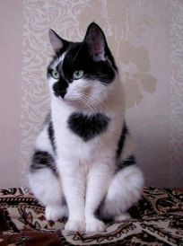 A beautiful black and white cat with a perfect black heart on his chest.