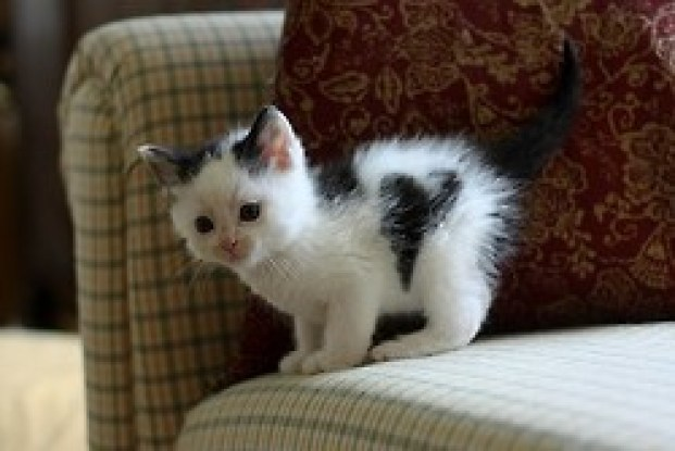A very tiny kitten with a heart patch on his side.