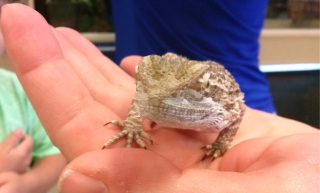 Photo of a Bearded Dragon lizard in Kreatrix's hand.
