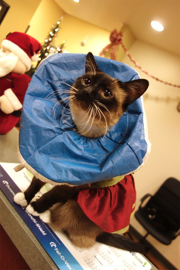 An adorable siamese cat with a dress on and a special cone around it's neck.
