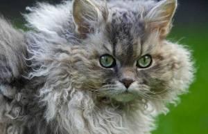 curly-hair-cat
