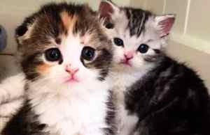 folded-ear-cat